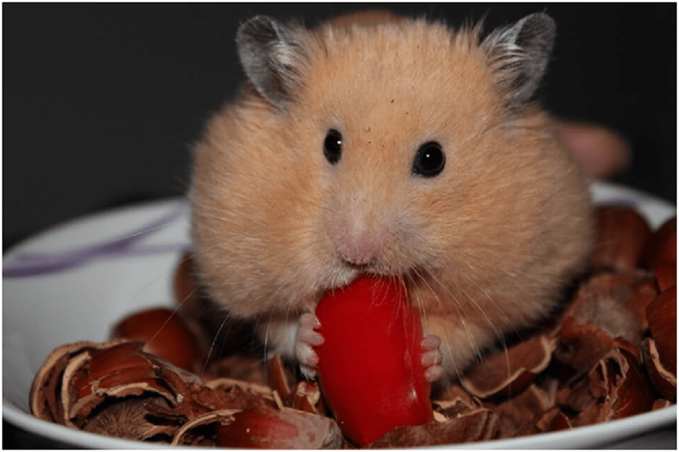 Are Hamsters Good As Pets? Get To Know Below
