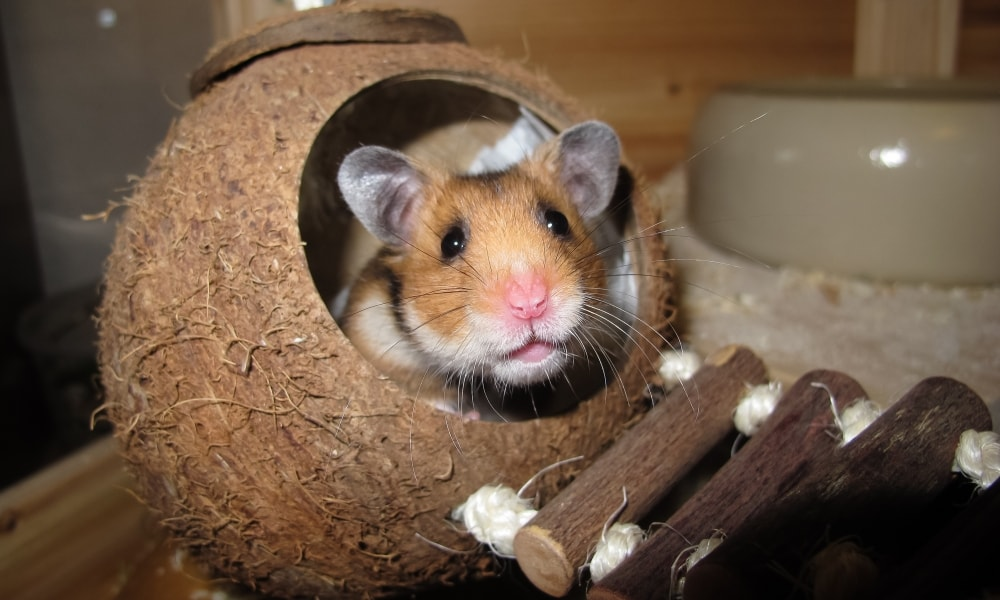 How To Take Care Of Your Hamster In The Best Possible Ways?